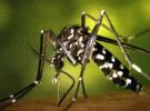 La plaga de mosquito tigre se extiende