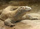 ¡Los dragones de Komodo ya tienen nombre!