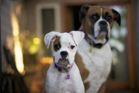 Razas de perros recomendadas: Bóxer