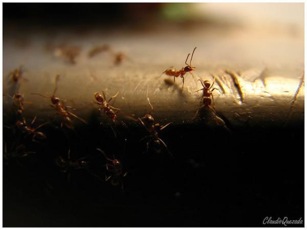 las hormigas viven en colonias