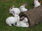 Conejos como mascotas