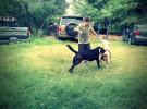 Razas de perros para la familia: labrador retriever