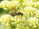 Los niños tienen más riesgo de sufrir reacciones alérgicas por picaduras de insectos
