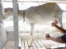 Beneficios de la leche de cabra para los niños