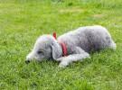 Razas de perros pequeñas: Affenpinscher, Bedlington Terrier, Bichón