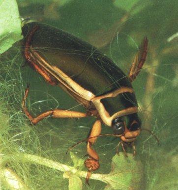 EscarabajoDeAgua