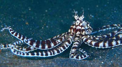 mimicoctopus.jpg