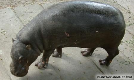 HipopotamoPigmeo