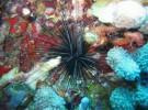 El erizo lima, un <em>desertizador</em> en potencia
