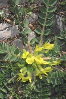 Astragalus tremolsianus