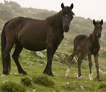 Asturcon, o caballo autóctono de Asturias