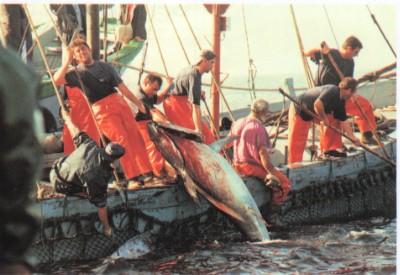 Pesca atún rojo