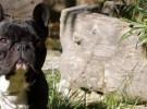 El bulldog francés