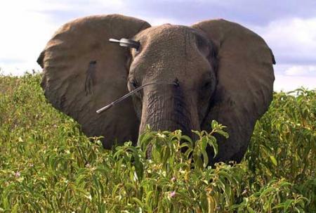 Elefante herido con lanzas