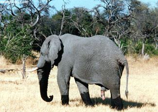 Elefantes y marula