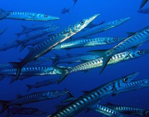 Espeton, la barracuda de Europa (2)