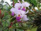 La frágil orquídea