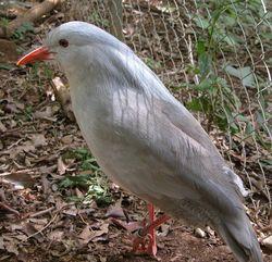 Kagu, el ave de los bosques de Nueva Caledonia