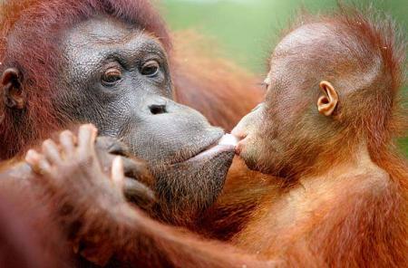 Orangutanes de Sumatra, como Victoria y Juliana
