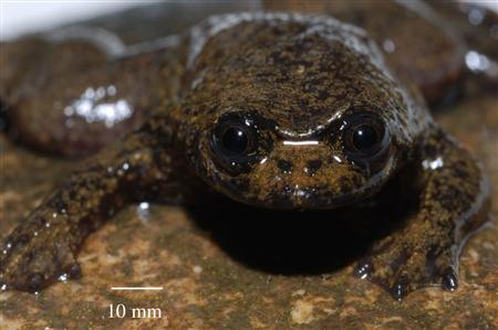 Esta rana no tiene pulmones y respira por la piel