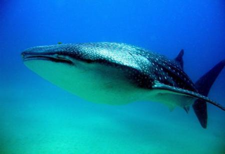 tiburon_ballena.jpg
