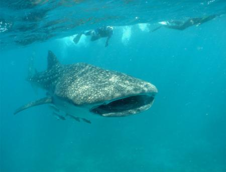 tiburon_ballena2.jpg
