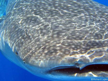 tiburon_ballena3.jpg