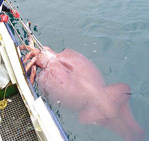El colosal calamar cuando fue capturado