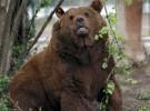 Los osos que hibernan