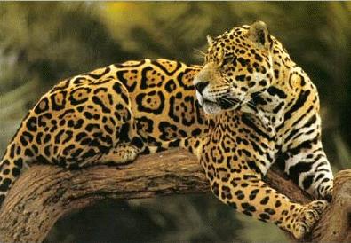 Jaguar, felino que se encuentra en la Península de Osa