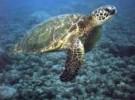 Las tortugas marinas de España