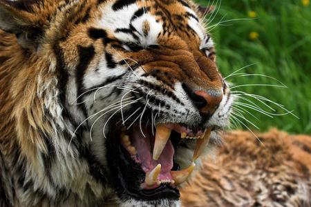 tigre_sumatra.jpg