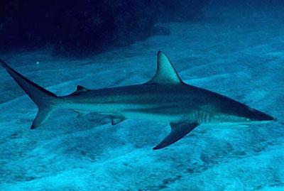 carcharhinus_limbatus.jpg