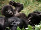 La ONU declara el 2009 como año del Gorila