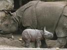 Más bebes rinoceronte gracias al semen congelado