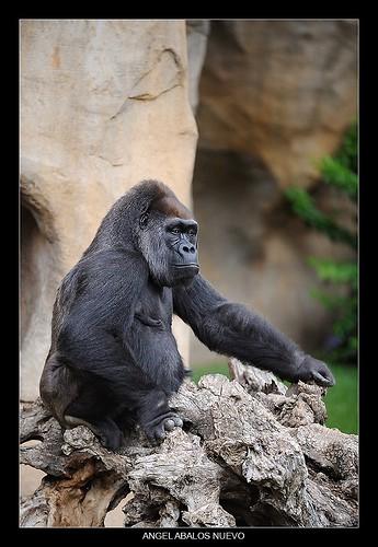goriladecosta