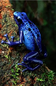 grall-george-blauer-pfeilgiftfrosch-1067265.jpg