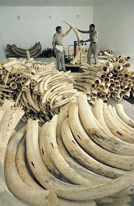 marfil de elefantes