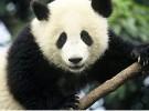 El oso panda, tímido amante del bambú