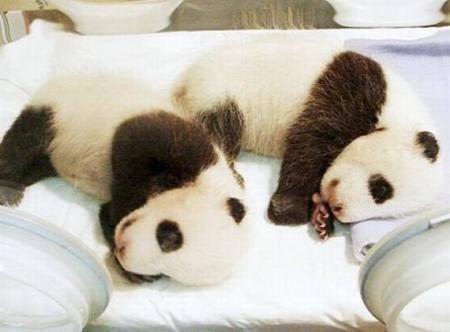 bebes panda Meihin y Eihin