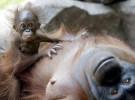 La deforestación agrava la existencia de 84% de primates en Indonesia