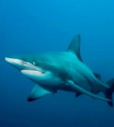 tiburoncillo.jpg
