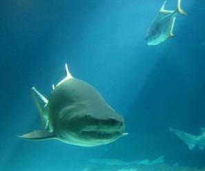 tiburon.jpg