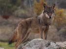 El lobo ibérico vuelve a Castilla-La Mancha