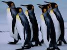 La población de pingüinos se reduce en todo el mundo