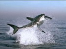 El Tiburón Blanco (<em>Carcharodon carcarcharias</em>)
