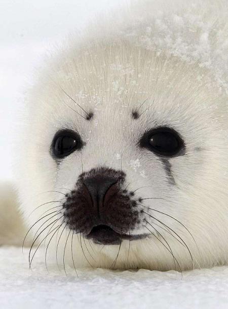 Los ecologistas a por los cazadores de focas