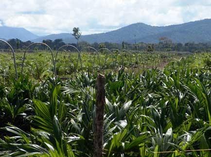 Cultivo de palma