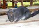 La rata que no debía existir