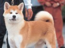 Mis razas favoritas de perros: Akita, Airedale Terrier, Afghan Hound